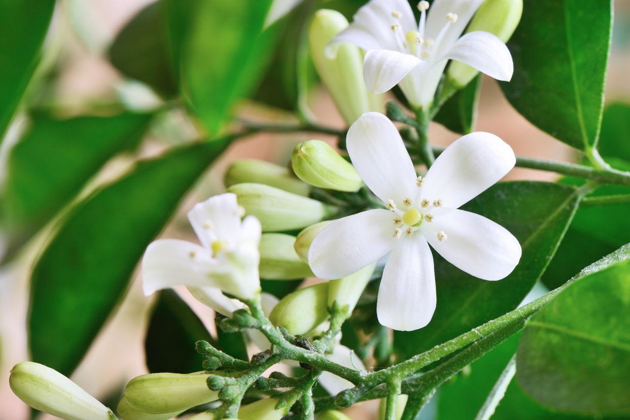 Jasmine plant care learn how to properly grow a jasmine bush white orange jasmine flowers izmirmasajfo Choice Image