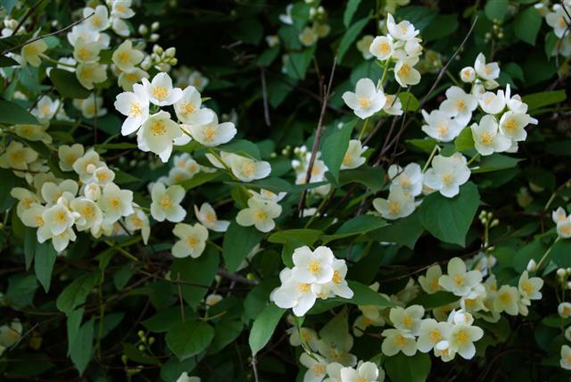 Jasmine Flower And Green Leaves