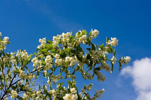 Jasmines Clouds