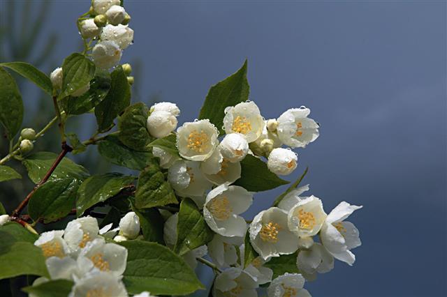 Branch Of A Jasmine