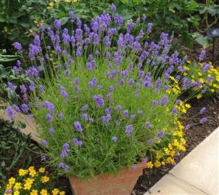 Terracotta Flowerpot Of The Lavender Plant