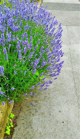 Street Side Lavender