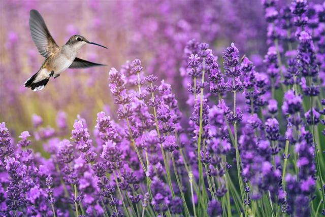 Hummingbird Feeding On Wild Flowers