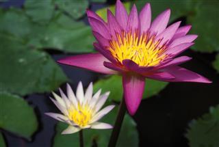 Pink Lotus Water Lily