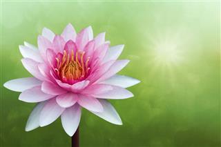 Red Lotus On Spring Background