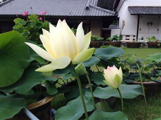 Hasu A Lotus Flower