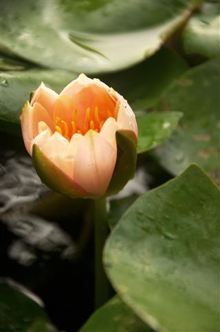 Closeup Of Blossom Orange Lotus Flower