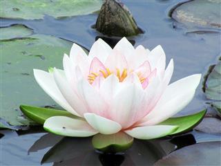 Lotus Waterlily
