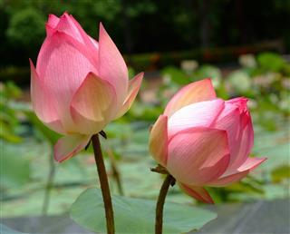 Lotus Rare Flower Symbol Of Purity