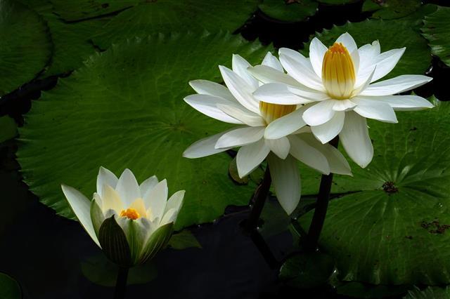 Lotus Water