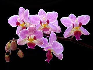 Magenta Phalaenopsis Orchid