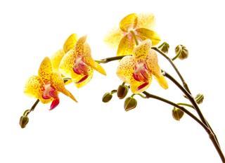 Yellow Phalaenosis Orchid Stem