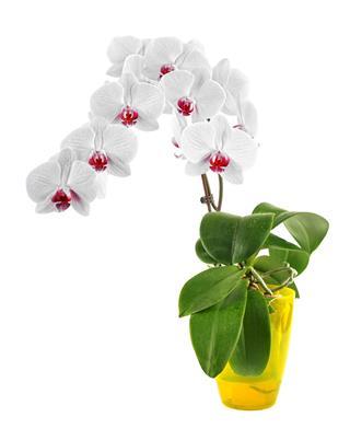Phalaenopsis Orchid Blooming
