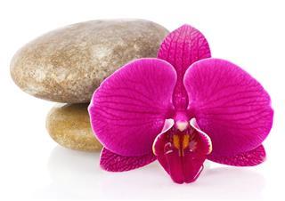 Flower Phalaenopsis Orchid