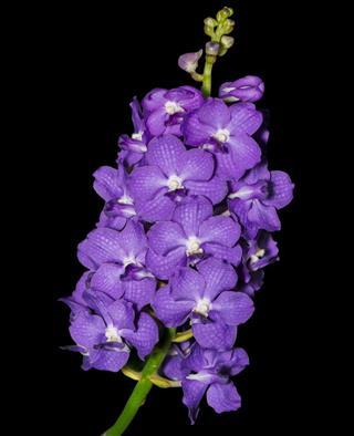 Hybrid Purple Vanda Orchid