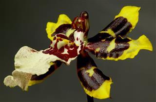 Orchid Onciduim