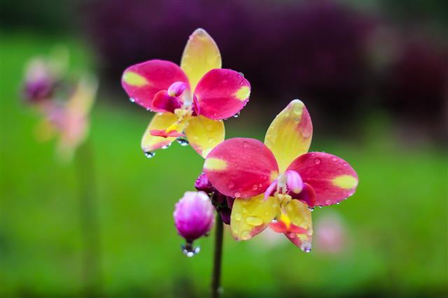 Spathoglottis Plicata Ground Orchids