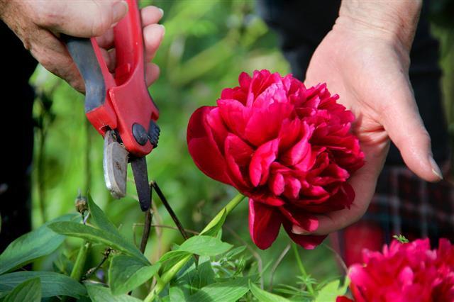 Gardener Cutting Flowers In The Garden