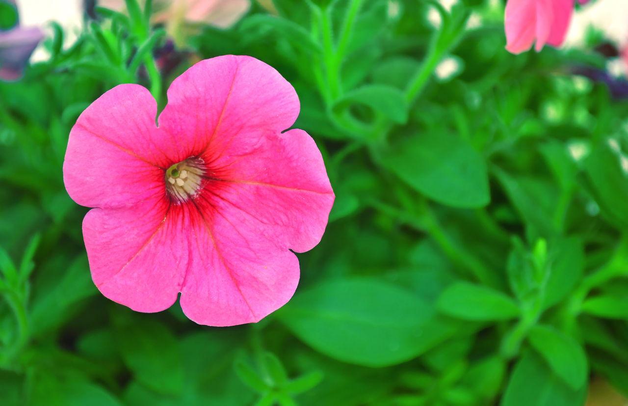 Blooming Petunia Flower