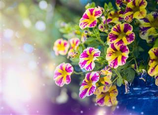 Beautiful Yellow Pink Petunia Flowers