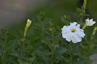 Spring Blooming Petunia Flowers