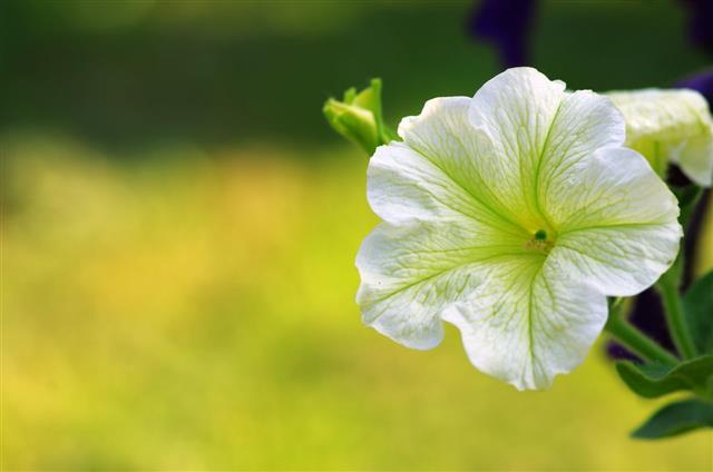 White Petunia Flowers In Garden