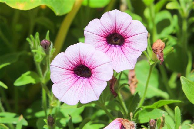 Petunia In Carmarthenshire Wales