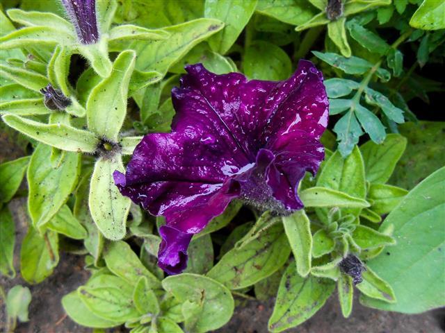 Striped Violet Large Petunia In Garden