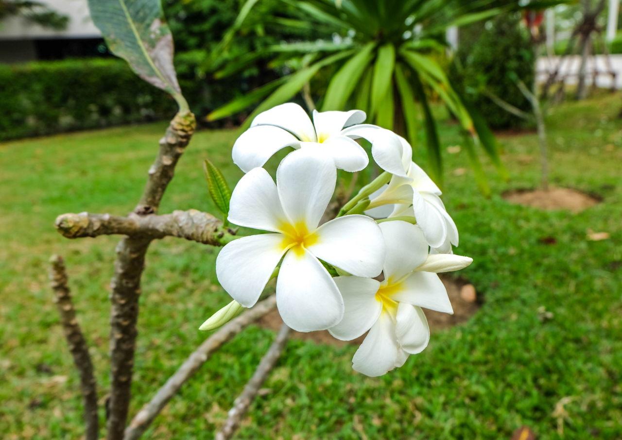 Plumeria Plant Care