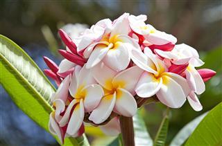 Plumeria Flowers On Tree