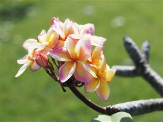 Plumeria Or Frangipani Flowers
