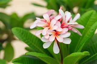 Pink Plumeria Flowers In Garden Thailand