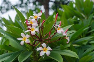 Plumeria Flower Blossom