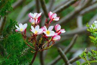 Plumeria Flowers Tree