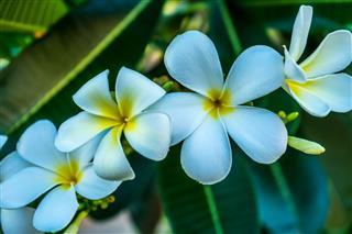 Blooming White Plumeria