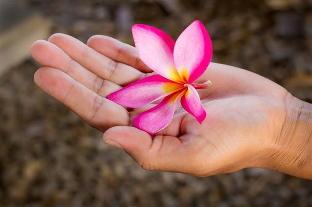 Pink Plumeria Flower In Hand