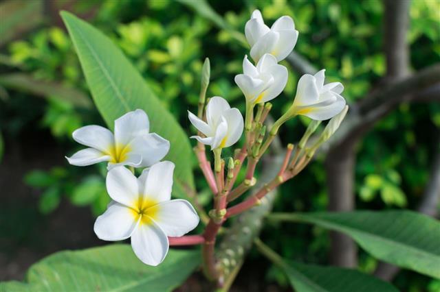 Plumeria Flowers White