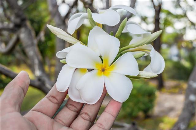 Hand Touch Plumeria Flower