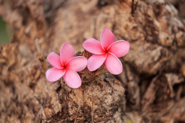 Pink Plumeria Flowers Blooming