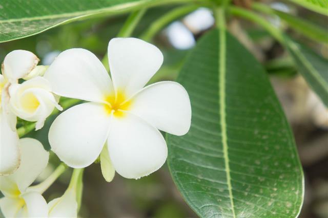 Plumeria Flowers White Flowers