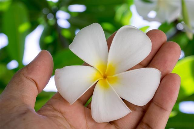 Hand Holding A Plumeria Flower
