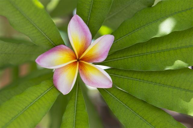 Fresh Plumeria Flower