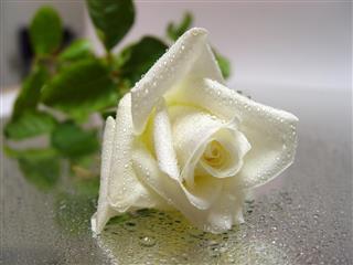 White rose on wet floor