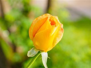 Beautiful Yellow Rose Flower In Garden