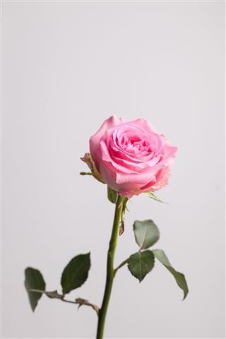 Single Beautiful Pink Rose
