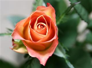 Orange Rose bloom