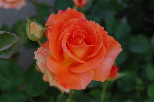 Peach Rose And Bud