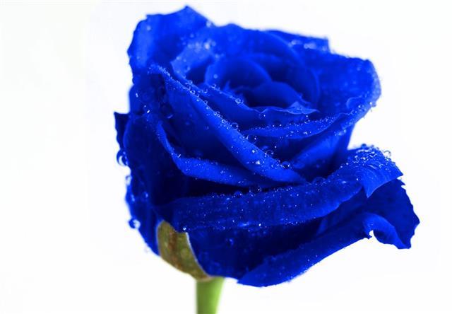 Blue Rose II
