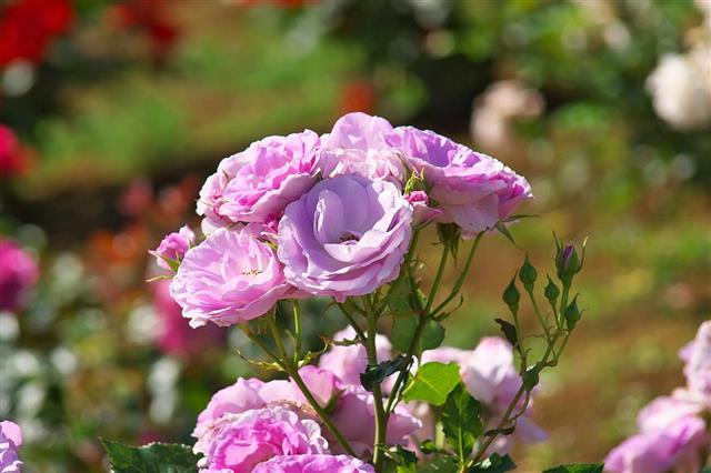 Purple roses in garden