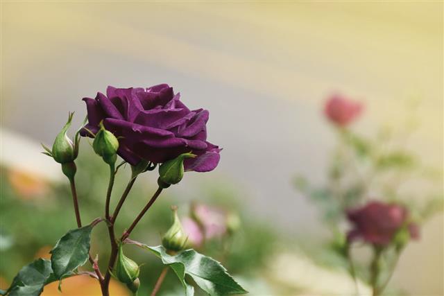 Purple Rose Blooming
